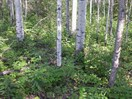 CEAB000170_forest_aspen_prickly_rose_spreading_dogbane_forest